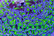 Guinapora Graphics - Euphyllia Close up