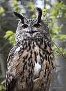 Barbara Mcmahon Prints - Eurasian Eagle Owl Print by Barbara McMahon