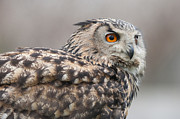 Owl Picture Prints - Eurasian Eagle-Owl Print by Christopher Mills