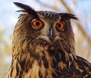 Eurasian Eagle Owl Print by Cynthia Guinn