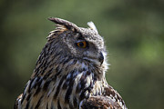 Owl Photo Metal Prints - Eurasian Eagle-Owl Metal Print by Garry Gay