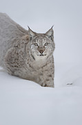 Bobcat Photo Framed Prints - Eurasian Lynx Framed Print by Andy Astbury