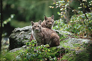 Lynx Sp Framed Prints - Eurasian Lynx Pair Europe Framed Print by Konrad Wothe