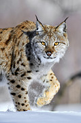Carnivores Framed Prints - Eurasian Lynx Walking Framed Print by Jasper Doest