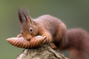 Biting Posters - Eurasian Red Squirrel Biting Cone Poster by Ingo Arndt