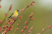 Kirk Norbury - Eurasian Siskin On A...
