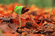 Forest Floor Photos - European Beech Seedling by Flip De Nooyer