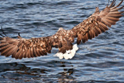 Eagle Metal Prints - European Fishing Sea Eagle 1 Metal Print by Heiko Koehrer-Wagner