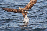 Eagle Metal Prints - European Fishing Sea Eagle 2 Metal Print by Heiko Koehrer-Wagner