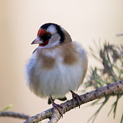 Jean-Luc Baron - European Goldfinch