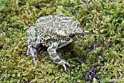 Science Photo Library - European green toad