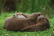 Otter Photos - European River Otter Lutra Lutra by Ingo Arndt