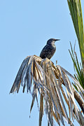 European Starling Metal Prints - European Starling Metal Print by Gerald Eisen