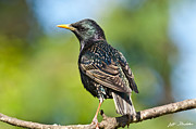 Jeff Goulden - European Starling in a...