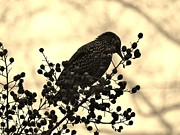 Amy Maloney - European Starling in...