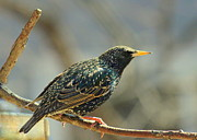 Starlings Metal Prints - European Starling Metal Print by Rosanne Jordan