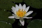 Ramabhadran Thirupattur Art - European White Waterlily by Ramabhadran Thirupattur