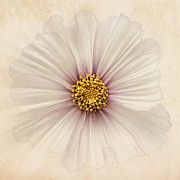 Close Focus Floral Prints - Evanescent Print by John Edwards