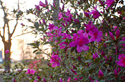 Heather S Huston - Evening Azaleas