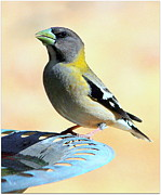 Irina Hays - Evening Grosbeak