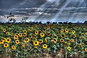 Field Of Flowers Posters - Evening Sunbeams on Field of Sunflowers Poster by Juli Scalzi