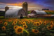Evening Sunflowers Print by Debra and Dave Vanderlaan