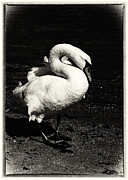 Black Swans Metal Prints - Evening Swan Metal Print by Hakon Soreide
