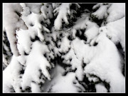 Evergreen Covered In Snow Framed Prints - Evergreen Snow Framed Print by Eric Wiles