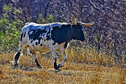 Struggling Photos - Every Cow Has a Silver Lining by Gary Holmes