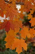 Linda Knorr Shafer - Every Leaf Speaks Bliss To Me