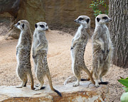 Meerkat Posters - Every Which Way - Meerkat Sentries Poster by Margaret Saheed