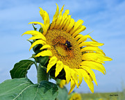 Stephen  Johnson - Everyone Love Sunflowers