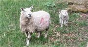 Cindy Nunn - Ewe and Lamb