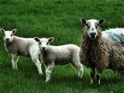 Cindy Nunn - Ewe and Lambs