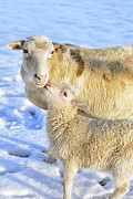 Anthropomorphism Photo Prints - Ewe and Winter Lamb Print by Thomas R Fletcher