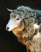 Ovine Framed Prints - Ewe Are So Beautiful Framed Print by Ellen Henneke