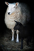 Farm Yard Posters - Ewe with Newborn Lamb Poster by Stephanie Frey