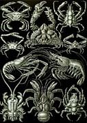 Examples Of Decapoda Kunstformen Der Natur Print by Ernst Haeckel