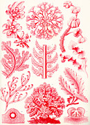 Microscopic Prints - Examples of Florideae from Kunstformen der Natur Print by Ernst Haeckel