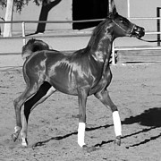 C H Apperson - Exercising Horse BW