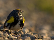 Monic LaRochelle - Exhausted yellow rumped...