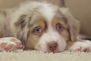 Australian Shepherd Posters - Exhausting Being a Puppy Poster by Kay Pickens