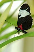 Tam Ryan - Exotic Butterfly