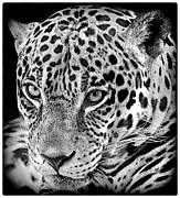Ruth Jolly Framed Prints - Exotic Jaguar Framed Print by Ruth Jolly