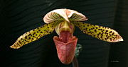 All - Exotic Paphiopedilum by Joanne Smoley