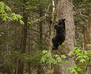 Black Bear Climbing Tree Posters - Expert Climber Poster by Doug McPherson
