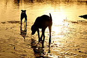 Dog Play Beach Posters - Exploring At Sunset Poster by Laura  Fasulo