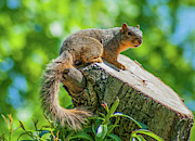 Eastern Fox Squirrel Framed Prints - Exploring Framed Print by Optical Playground By MP Ray