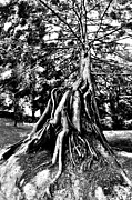 Tree Roots Photo Metal Prints - Exposed Metal Print by Benjamin Yeager