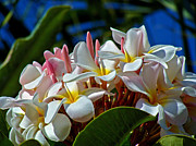 Expressions Of Love - Plumeria Print by Karon Melillo DeVega
